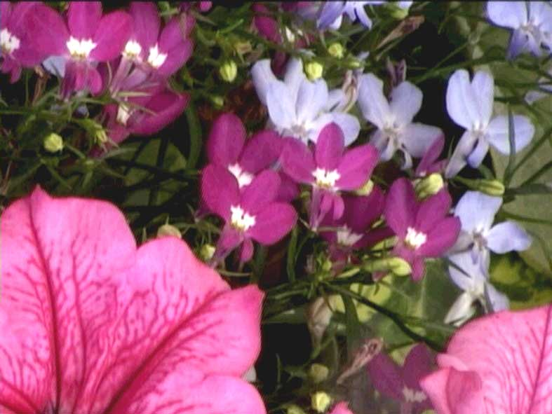 Picture of flowers taken in Portsmouth, and later used for the film Unfolding Hearts (2006).
